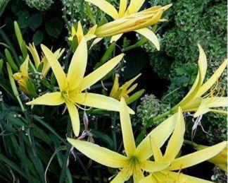Hemerocallis-citrina-sásliliom