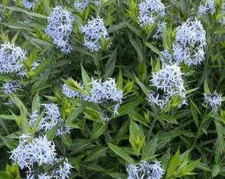 amsonia-tabernaemontana-széleslevelű-csillagmeteng