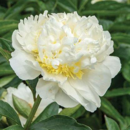 Paeonia lactiflora 'Bridal Icing' - lágyszárú bazsarózsa