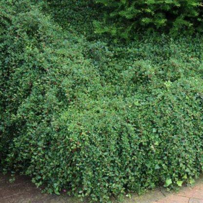 cotoneaster-dammeri-szőnyegbadárbirs2