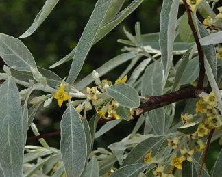 elaeagnus-angustifolia-keskenylevelű-ezüstfa