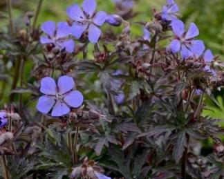 geranium-pratense-dark-reiter-golyaorr