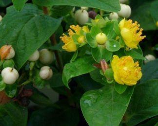 hypericum-indorum-magical-white-orbáncfű-virág