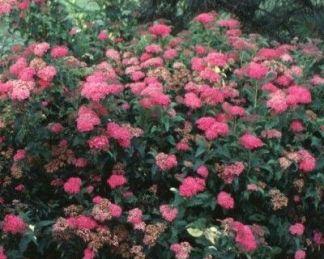 spiraea-japonica-crispa-gyöngyvessző