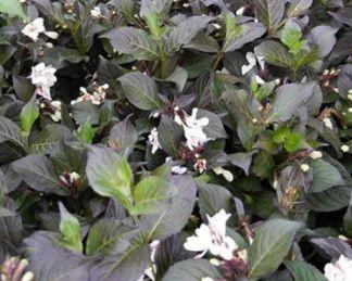 weigela-ebonyandivory-rózsalonc