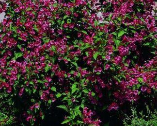 weigela-lucifer-bokor-rózsalonc
