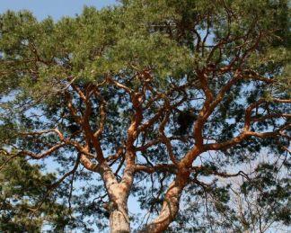 pinus sylvestris erdei fenyő
