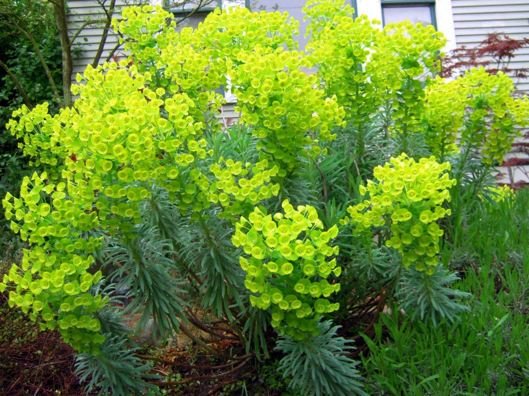 Don's Hardy Euphorbia (GW)
