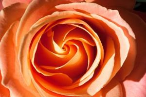 Fülle annehmen - rose 1149615