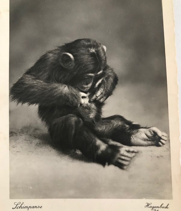 Ecoutons ce chimpanzé rencontré par Grand-Papy Robert Papillon…