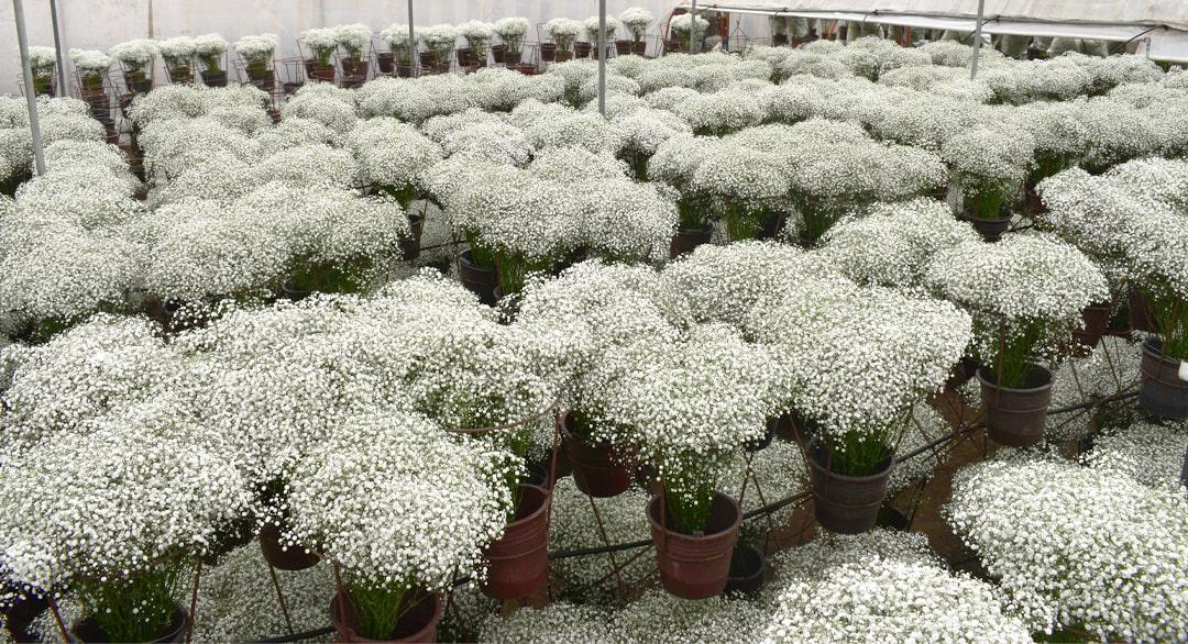 Gypsophila Producer - Florequisa Flower Growers