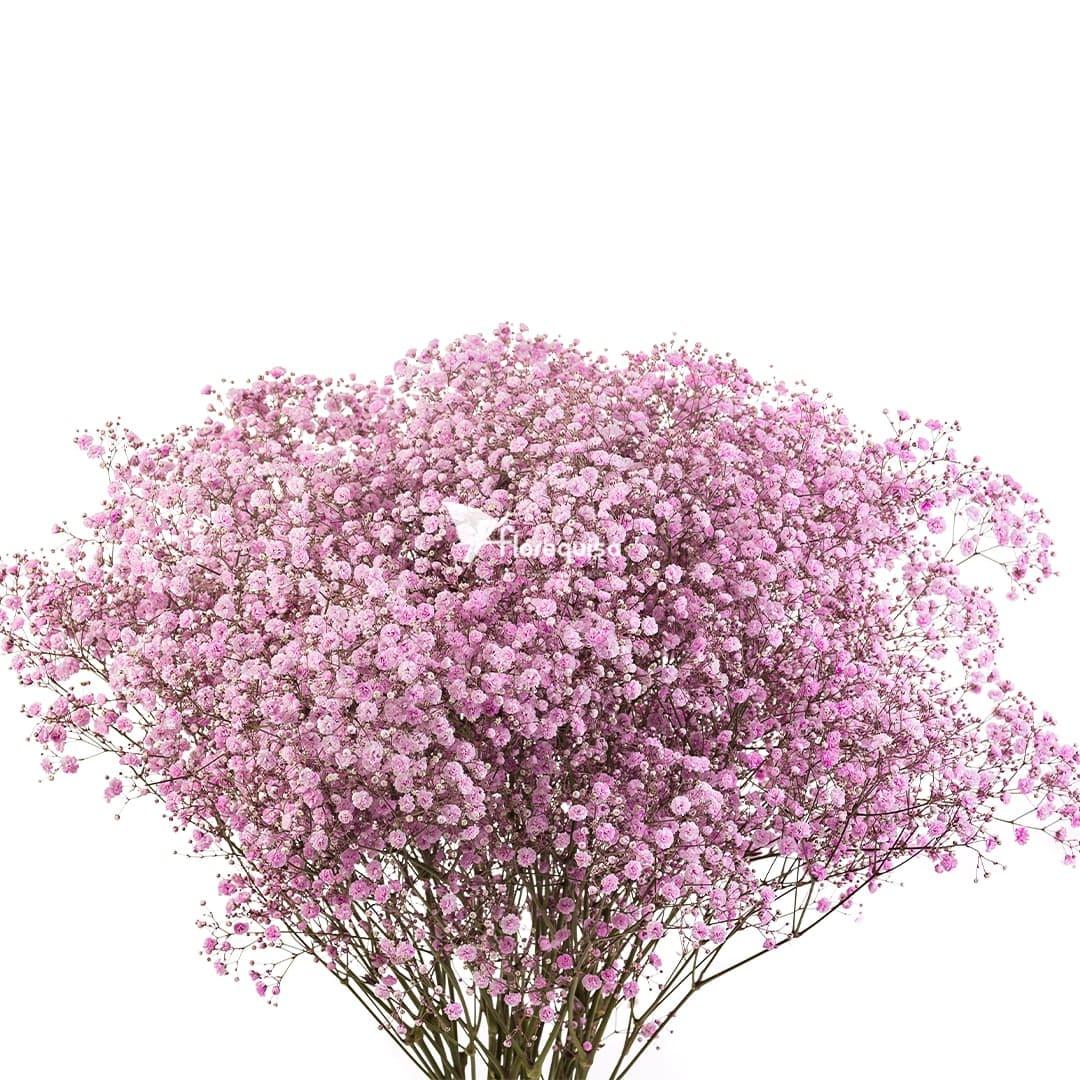 Light Pink Gypsophila by Florequisa Flower Growers