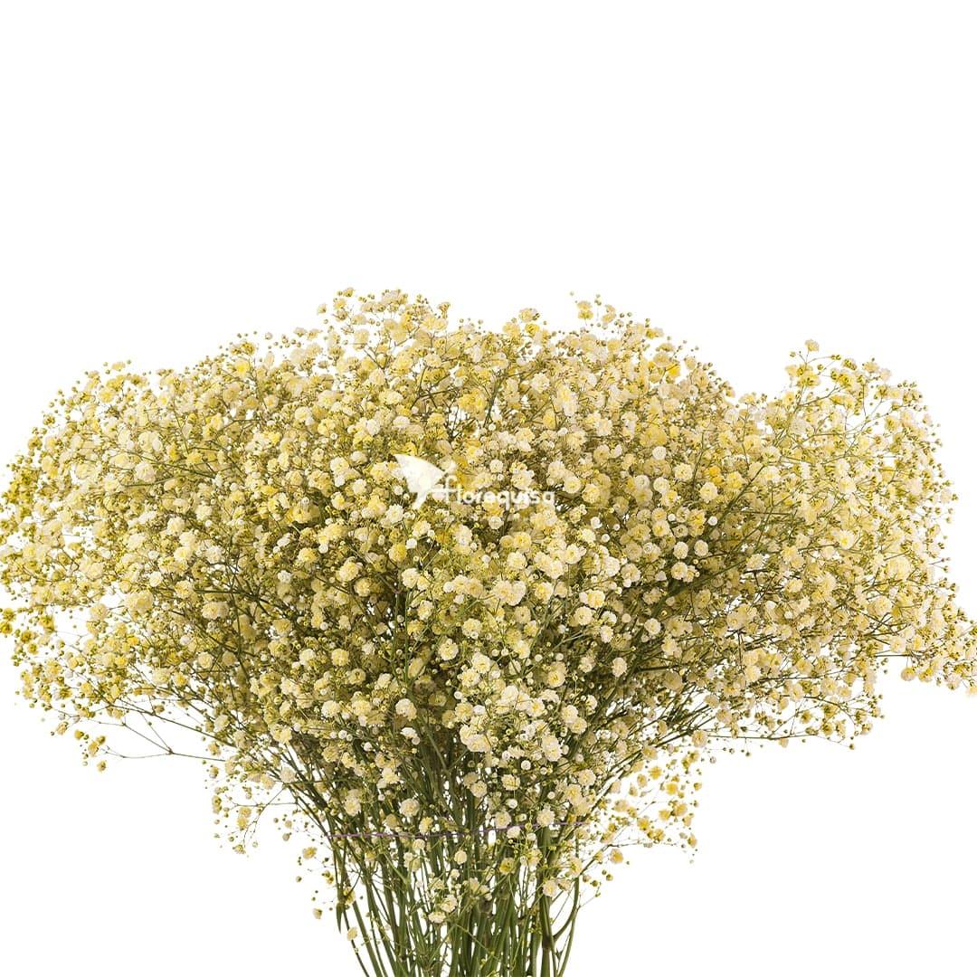 Light Yellow Gypsophila by Florequisa Flower Growers