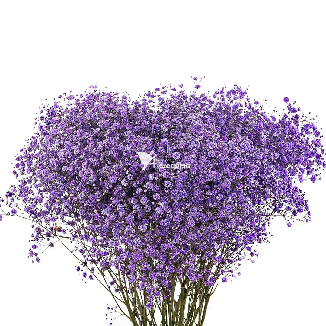 Purple Gypsophila by Florequisa Flower Growers