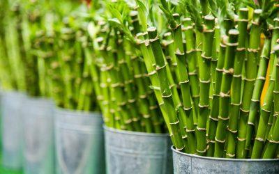 Cómo cuidar el Bambú de la suerte
