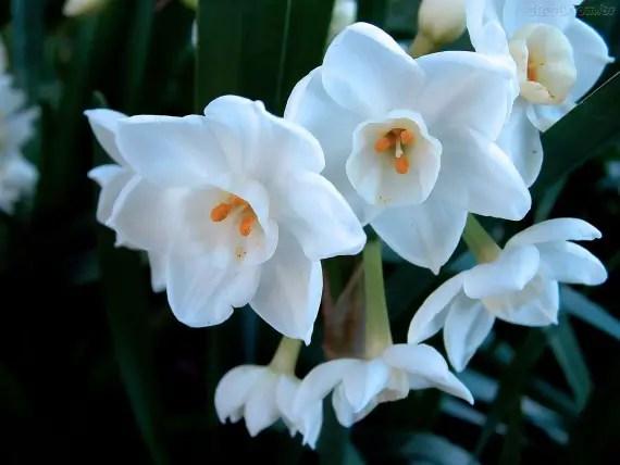 Resultado de imagem para flor Narciso