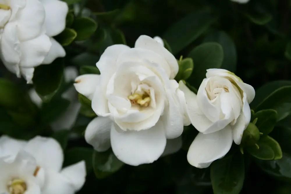 Resultado de imagem para gardenia