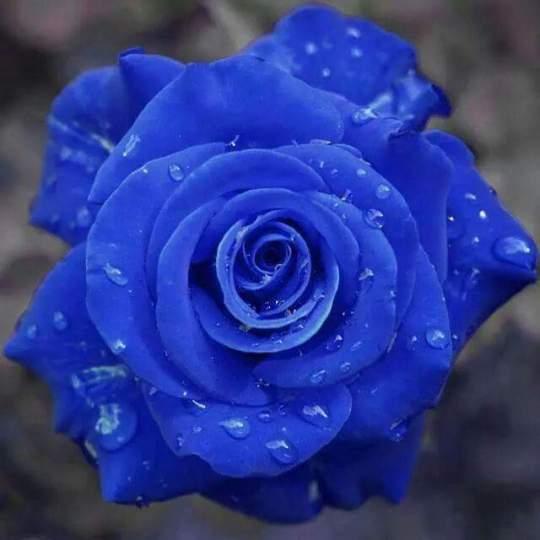 Imagen de una hermosa rosa azul para regalar