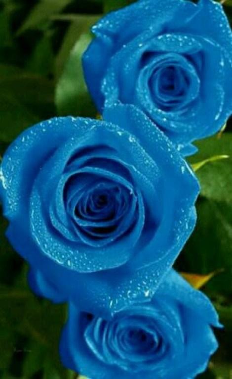 Rosas azules para enviar por whatsapp