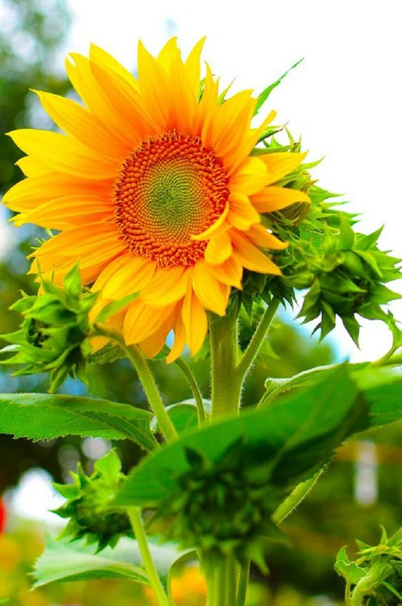 Fondo de flores de girasol para fondo de celular