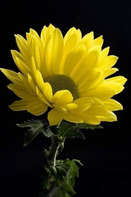 Lindas flores amarillas para fondo de celular