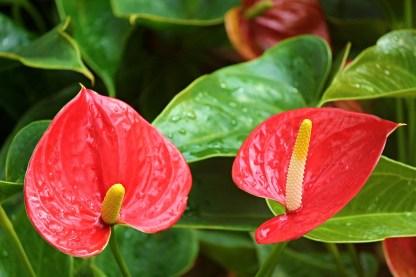anthurium-rojos