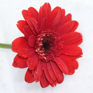 gerbera-roja