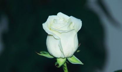 rosas-blancas