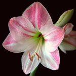 amaryllis rosa