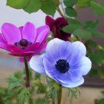 anemona flor en dos colores