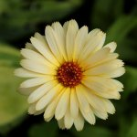 marigold light yellow