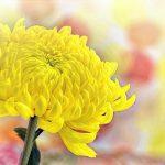 yellow crisantemo
