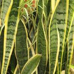 Snake Plant Sansevieria How To Grow And Care For Beginners Florgeous