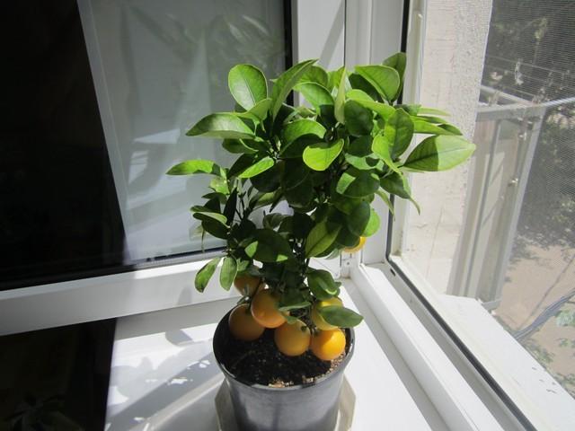 Как приучить купленное растение
