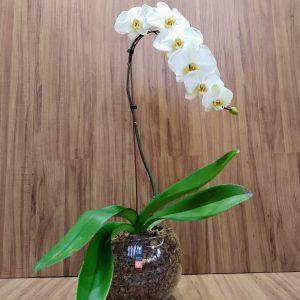 Orquídea phalaenopsis cascata branca no aquário de vidro grande