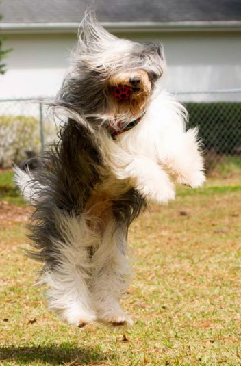 Bearded Collie Rescue Florida