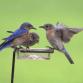 Fall Statewide Bluebird Blitz