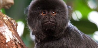 Rare Goeldi's Monkey Stolen from The Palm Beach Zoo