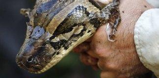 Miami Super Bowl Organizers Bring Death to Burmese Pythons