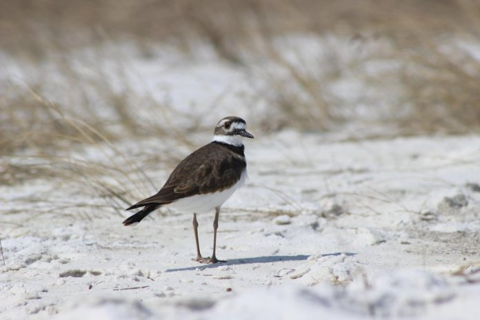 Panhandle shorebirds thrive in aftermath of Hurricane Sally aububon