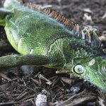 Christmas in Florida: Chilly forecast, falling iguanas