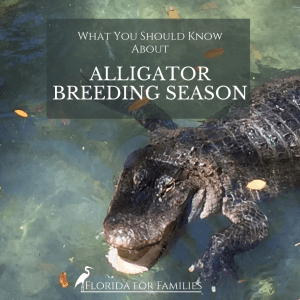 Essential Things You Should know About Alligator Mating Season
