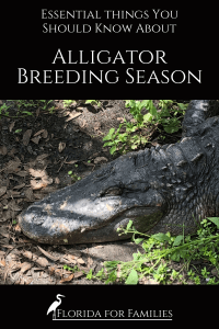 What you should know about alligator breeding season in Florida