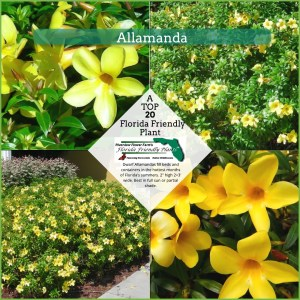 Allamanda plants in bloom