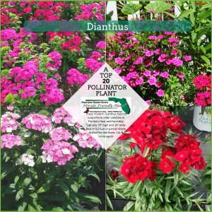 Dianthus plants in bloom
