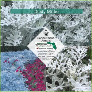 Dusty Miller plants in landscape scene