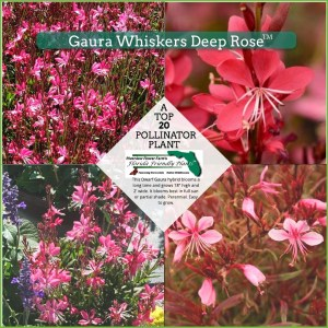 Gaura Whiskers Deep Rose plant in bloom