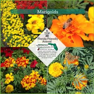 Marigold plants in bloom