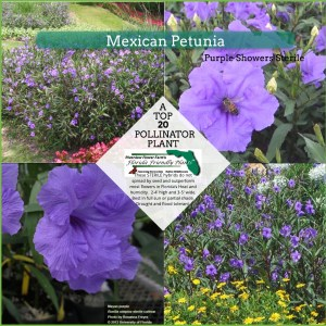 Mexican Petunia plants in bloom