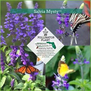 Salvia Mysty plants in bloom